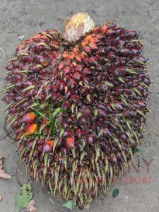 Fruits de palme naturels