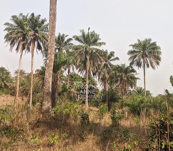 Une vue d'un palmier naturel à N'zerekore.